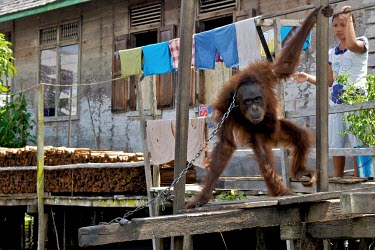 Orangutan chained up in a backyard captivity,backyard,captive,locals,village,Mammalia,Mammals,Chordates,Chordata,Primates,Hominids,Hominidae,Animalia,Arboreal,Endangered,pygmaeus,Herbivorous,Appendix I,Pongo,Asia,Rainforest,IUCN Red Li