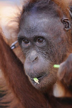 Orangutan in chains. This orangutan has lived in captivity for 6 years. portrait,captivity,backyard,close-up,captive,face,Mammalia,Mammals,Chordates,Chordata,Primates,Hominids,Hominidae,Animalia,Arboreal,Endangered,pygmaeus,Herbivorous,Appendix I,Pongo,Asia,Rainforest,IUC