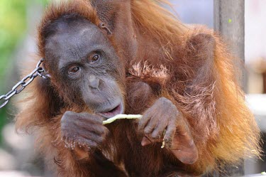 Orangutan in chains. This orangutan has lived in captivity for 6 years. portrait,captivity,backyard,close-up,captive,Mammalia,Mammals,Chordates,Chordata,Primates,Hominids,Hominidae,Animalia,Arboreal,Endangered,pygmaeus,Herbivorous,Appendix I,Pongo,Asia,Rainforest,IUCN Red
