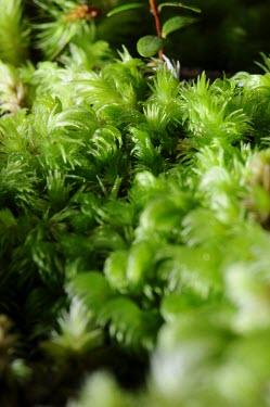Macro shot of ferns plants,fern,close-up,macro,plant,West Kalimantan,moss,Sentarum