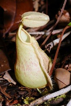 Pitcher plant in Selimbau orchid garden plant,close-up,forest,rainforest,pitcher,adaptation,nutrient poor soil,West Kalimantan,Sentarum,nephentes