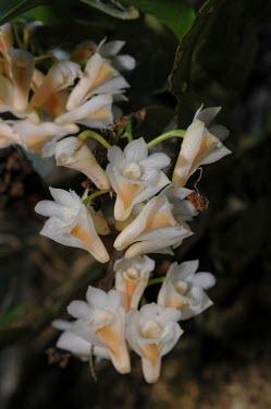 Orchid growing in Selimbau orchid sanctuary garden plant,orchid,flower,close-up,West Kalimantan,Sentarum
