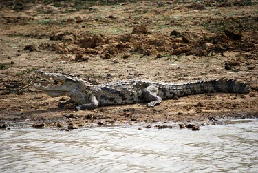 West African crocodile cooling down at the side of the river water,crocodile,river,gape,cooling,africa,animal,cameroon,gorom
