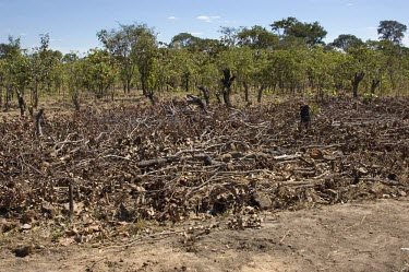 The opening of land for large-scale jatropha plantations often displaces traditional land use practices plants,landscape,plantation,northern,forests,climate change,zambia,southern africa,biofuels,jatropha,livelihoods,miombo woodlands,misunga plantation,mpika district,symbiosis,scientists,interviews,Zamb