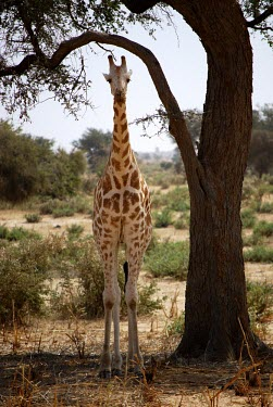 West African giraffe in the shade of a tree Niger giraffe,Endangered,IUCN Redlist,portrait,dry,tall,Chordates,Chordata,Giraffidae,Giraffes,Mammalia,Mammals,Terrestrial,Africa,Cetartiodactyla,Savannah,Herbivorous,camelopardalis,Animalia,Giraffa,