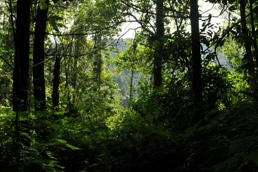 Gede-Pangrango National Park is centred on two volcanoes (Mount Gede and Mount Pangrango) and the area is 150 km . trees,rainforest,Mount Gede,Mount Pangrango,forest,Forests,Indonesia,Rain forest