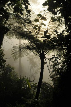 Forest fern in the mist forest,forests,rainforests,jawabarat,Mount Gede,Mount Pangrango,fern,mist,Forests,Indonesia,Rain forest