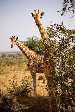 West African giraffes dry,pair,two,portrait,looking into camera,Chordates,Chordata,Giraffidae,Giraffes,Mammalia,Mammals,Terrestrial,Africa,Cetartiodactyla,Savannah,Herbivorous,Endangered,camelopardalis,Animalia,Giraffa,Lea