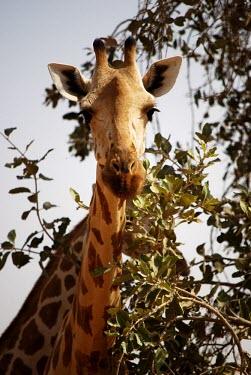 West African giraffe with head in tree close-up,tree,portrait,leaves,looking into camera,Chordates,Chordata,Giraffidae,Giraffes,Mammalia,Mammals,Terrestrial,Africa,Cetartiodactyla,Savannah,Herbivorous,Endangered,camelopardalis,Animalia,Gir