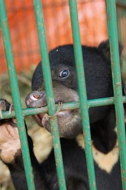 Sun bear chewing bars of a cage honey bear,bear,declining habitat,poaching,captive,caged,looking into camera,Bears,Ursidae,Chordates,Chordata,Mammalia,Mammals,Carnivores,Carnivora,Omnivorous,Terrestrial,Asia,Rainforest,Helarctos,Ani