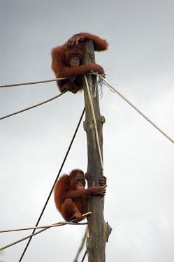 Orangutans climbing up a pole habitat loss,habitat exploitation,pet trade,captive,ape,great ape,threatened,Mammalia,Mammals,Chordates,Chordata,Primates,Hominids,Hominidae,Animalia,Arboreal,Endangered,pygmaeus,Herbivorous,Appendix
