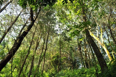 Forest view in Gede-Pangrango National Park trees,forest,rainforest,jawabarat,Mount Gede,Mount Pangrango,wide angle,green,trunks,leaves,habitat,understorey,Forests,Indonesia,Rain forest