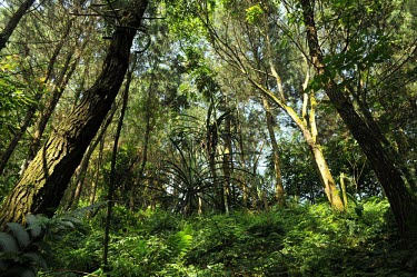 Forest view in Gede-Pangrango National Park trees,forest,rainforest,jawabarat,Mount Gede,Mount Pangrango,wide angle,green,trunks,leaves,habitat,understorey,shrubs,Forests,Indonesia,Rain forest