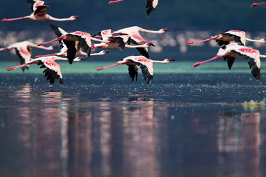 Lesser flamingos at Lake Bogoria flamingo,flamingos,animal,animals,bird,birds,Kenya,wildlife,lesser flamingo,Lake Bogoria National Park,Africa,Eastern Africa,Rift Valley Province,Rift Valley,natural world,flock,group of animals,feedi