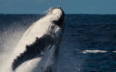 Humpback whale breaching breaching,splash,water,oceans,marine,sea,fins,flippers,cetaceans,whale,Wild,Rorquals,Balaenopteridae,Cetacea,Whales, Dolphins, and Porpoises,Chordates,Chordata,Mammalia,Mammals,South America,North Ame