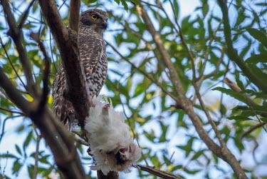 Powerful owl perching in tree with cockatoo kill Birds,bird,bird of prey,aves,owl,owls,strigiidae,stringiformes,strigidae,Tytonidae,perching,perched,back,from behind,behind,eyes,in tree,tree,branch,prey,predtor,kill,dead,hunt,hunting,cockatoo,Wild