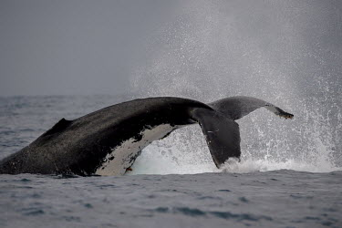 Humpback whale tail throw splash,oceans,water,marine,sea,tail,action,fluke,Wild,Rorquals,Balaenopteridae,Cetacea,Whales, Dolphins, and Porpoises,Chordates,Chordata,Mammalia,Mammals,South America,North America,South,Asia,Austra