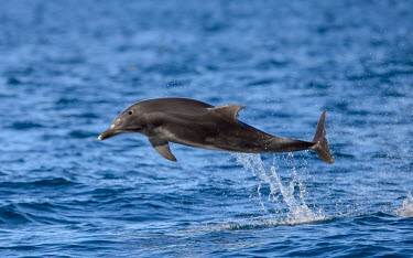 Leaping bottlenose dolphin leap,splash,ocean,water,marine,sea,shallow focus,action,Wild,Mammalia,Mammals,Oceanic Dolphins,Delphinidae,Cetacea,Whales, Dolphins, and Porpoises,Chordates,Chordata,South,Animalia,Appendix I,Carnivor