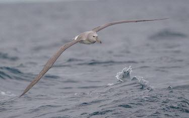 Juvenile albatross albatross,juvenile,low,flight,waves,water,marine,sea,splash,grey,bird,birds,mollymawk,Wild,Chordates,Chordata,Aves,Birds,Albatrosses,Diomedeidae,Ciconiiformes,Herons Ibises Storks and Vultures,Procell