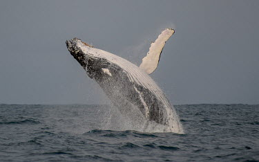 Humpback whale breaching breaching,splash,oceans,water,marine,sea,fins,flippers,power,action,Wild,Rorquals,Balaenopteridae,Cetacea,Whales, Dolphins, and Porpoises,Chordates,Chordata,Mammalia,Mammals,South America,North Americ