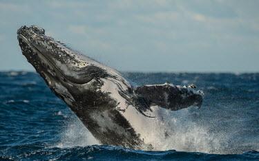 Humpback whale breaching breaching,splash,oceans,water,marine,sea,fins,flippers,closed eye,Wild,Rorquals,Balaenopteridae,Cetacea,Whales, Dolphins, and Porpoises,Chordates,Chordata,Mammalia,Mammals,South America,North America,