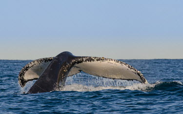 Humpback whale tail fluke splash,oceans,water,marine,sea,tail,action,fluke,diving,Wild,Rorquals,Balaenopteridae,Cetacea,Whales, Dolphins, and Porpoises,Chordates,Chordata,Mammalia,Mammals,South America,North America,South,Asia
