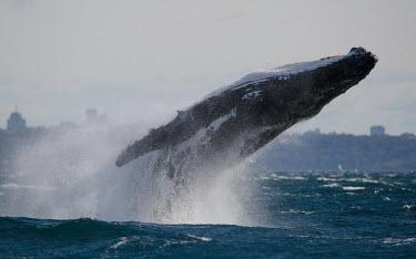 Humpback whale breaching breaching,splash,oceans,water,marine,sea,fins,flippers,action,power,Wild,Rorquals,Balaenopteridae,Cetacea,Whales, Dolphins, and Porpoises,Chordates,Chordata,Mammalia,Mammals,South America,North Americ