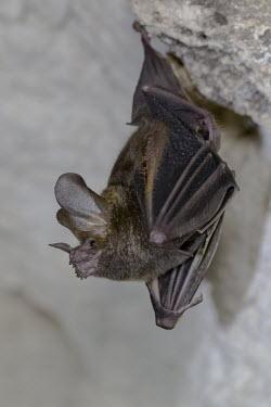 "Fringe-lipped bat cave,bat,chiroptera,Fringe-lipped bat,Trachops cirrhosus,hanging,roosting,roost,profile,Wild,""Paul B Jones 2014"",Belize ""Chan Chich"""
