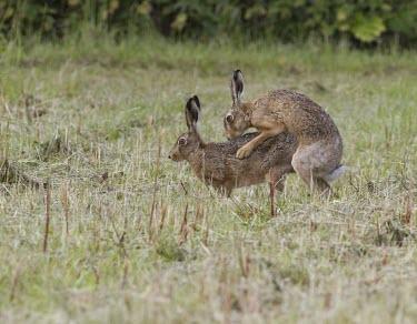 Two Brown Hare, Lepus europaeus, mating in stubble field European hare,European brown hare,brown hare,Brown-Hare,Lepus europaeus,hare,hares,mammal,mammals,herbivorous,herbivore,lagomorpha,lagomorph,lagomorphs,leporidae,lepus,declining,threatened,precocial,r