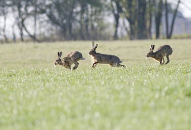 Two male Brown Hare, Lepus europaeus, in pursuit of a single femal across grassy field European hare,European brown hare,brown hare,Brown-Hare,Lepus europaeus,hare,hares,mammal,mammals,herbivorous,herbivore,lagomorpha,lagomorph,lagomorphs,leporidae,lepus,declining,threatened,precocial,r