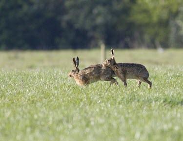 Male Brown Hare, Lepus europaeus, restign its head against the rear of a female hoping to mate European hare,European brown hare,brown hare,Brown-Hare,Lepus europaeus,hare,hares,mammal,mammals,herbivorous,herbivore,lagomorpha,lagomorph,lagomorphs,leporidae,lepus,declining,threatened,precocial,r