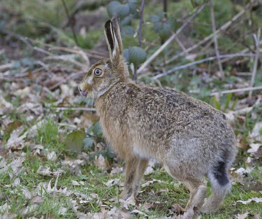 Brown Hare, Lepus europaeus, licking its now and stood in autumnal leaf litter European hare,European brown hare,brown hare,Brown-Hare,Lepus europaeus,hare,hares,mammal,mammals,herbivorous,herbivore,lagomorpha,lagomorph,lagomorphs,leporidae,lepus,declining,threatened,precocial,r