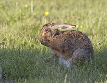 Brown Hare, Lepus europaeus, grooming front foot European hare,European brown hare,brown hare,Brown-Hare,Lepus europaeus,hare,hares,mammal,mammals,herbivorous,herbivore,lagomorpha,lagomorph,lagomorphs,leporidae,lepus,declining,threatened,precocial,r