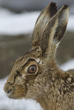 Brown Hare, Lepus europaeus, close view of head with focus on eye and ears. Wirral, March European hare,European brown hare,brown hare,Brown-Hare,Lepus europaeus,hare,hares,mammal,mammals,herbivorous,herbivore,lagomorpha,lagomorph,lagomorphs,leporidae,lepus,declining,threatened,precocial,r