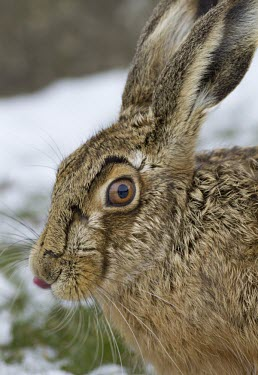 Brown Hare, Lepus europaeus, close view of head with focus on eye and ears and with tongue sticking out, Wirral, March European hare,European brown hare,brown hare,Brown-Hare,Lepus europaeus,hare,hares,mammal,mammals,herbivorous,herbivore,lagomorpha,lagomorph,lagomorphs,leporidae,lepus,declining,threatened,precocial,r