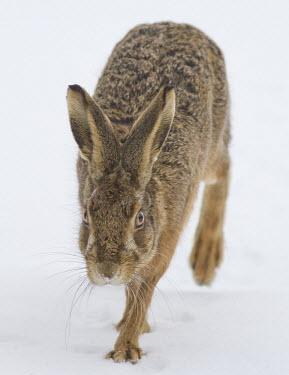 Brown Hare, Lepus europaeus, moving through snow towards camera, Wirral, March European hare,European brown hare,brown hare,Brown-Hare,Lepus europaeus,hare,hares,mammal,mammals,herbivorous,herbivore,lagomorpha,lagomorph,lagomorphs,leporidae,lepus,declining,threatened,precocial,r