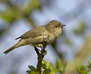 Chiffchaff perched in tree branch Chiffchaff,chiff,chaff,Phylloscopus collybita,Phylloscopus,collybita,small,summer,spring,visitor,migrant,sing,singing,call,distinctive,onomatopoeia,bird,birds,passerine,passerines,Least Concern,adult,