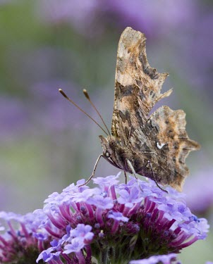 Comma - Polygonia c-album comma,butterfly,butterflies,polygonia,c-album,orange,wing,spread,sun,summer,warm,sunshine,basking,bask,delicate,Lepidoptera,Nymphalidae,Nymphalinae,adult,common,perch,perched,flower,shallow focus,Inse