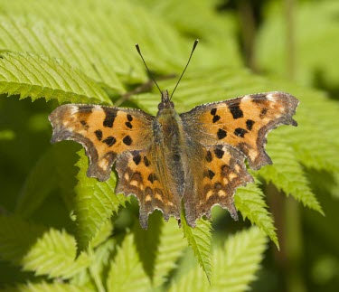 Comma - Polygonia c-album comma,butterfly,butterflies,polygonia,c-album,orange,wing,spread,sun,summer,warm,sunshine,basking,bask,delicate,Lepidoptera,Nymphalidae,Nymphalinae,adult,common,perch,perched,shallow focus,Insects,Ins