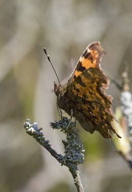 Comma - Polygonia c-album comma,butterfly,butterflies,polygonia,c-album,orange,wing,spread,sun,summer,warm,sunshine,basking,bask,delicate,Lepidoptera,Nymphalidae,Nymphalinae,adult,common,perch,perched,shallow focus,underneath,