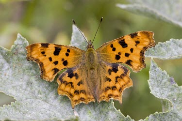 Comma - Polygonia c-album comma,butterfly,butterflies,polygonia,c-album,orange,wing,spread,sun,summer,warm,delicate,Lepidoptera,Nymphalidae,Nymphalinae,adult,common,perch,perched,shallow focus,detail,close up,close-up,portrait