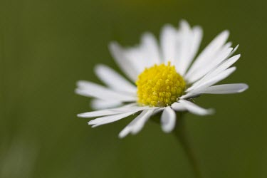 Common Daisy - Bellis perennis - close up view of single flower with narrow depth of field common,daisy,daisies,bellis,perennis,crimson,macro,close-up,close up,yellow,white,flower,flowers,Common-Daisy,single,shallow focus,green background,negative space,Asters, Daisies, Sunflowers,Asteracea