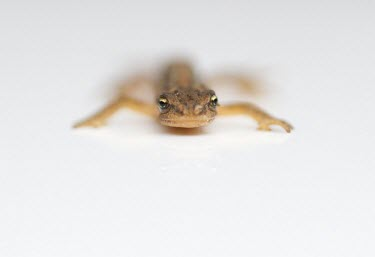 Common Newt or Smooth Newt - Lissotriton vulgaris common,newt,newts,smooth,amphibian,amphibians,pond,ponds,high key,white,minimal,Common-Newt,abstract,white background,shallow focus,negative space,looking at camera,Chordates,Chordata,Amphibians,Amphi