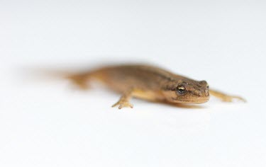 Common Newt or Smooth Newt - Lissotriton vulgaris common,newt,newts,smooth,amphibian,amphibians,pond,ponds,high key,white,minimal,Common-Newt,abstract,white background,shallow focus,negative space,Chordates,Chordata,Amphibians,Amphibia,Salamandridae,