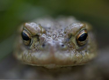 Common toad, Bufo bufo,shallow depth of field with focus on eyes toad,toads,wart,warty,amphibian,amphibians,pond,damp,green,grey,slimy,single,one,alone,looking at camera,stare,gaze,closeup,macro,dof,Common-Toad,close-up,close up,shallow focus,eyes,Chordates,Chordat