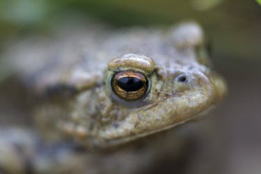 Common toad, Bufo bufo,shallow depth of field with focus on eyes toad,toads,wart,warty,amphibian,amphibians,pond,damp,green,grey,slimy,single,one,alone,looking at camera,stare,gaze,closeup,macro,dof,Common-Toad,close-up,close up,shallow focus,eye,Chordates,Chordata