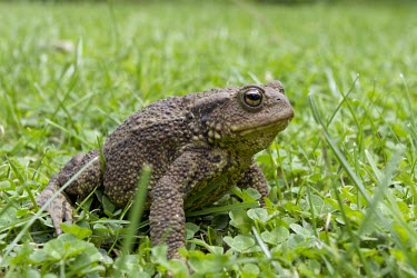 Common toad on garden lawn, Bufo bufo toad,toads,wart,warty,amphibian,amphibians,pond,damp,brown,green,grey,slimy,single,one,alone,stare,gaze,Common-Toad,shallow focus,large,fat,adult,grass,sat,sitting,clover,garden,lawn,Chordates,Chordat