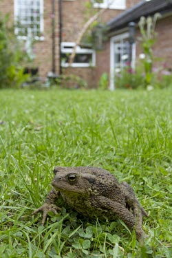 Common toad on garden lawn in front of house, Bufo bufo toad,toads,wart,warty,amphibian,amphibians,pond,damp,brown,green,grey,slimy,single,one,alone,stare,gaze,Common-Toad,shallow focus,large,fat,adult,grass,garden,lawn,Chordates,Chordata,Anura,Frogs and T