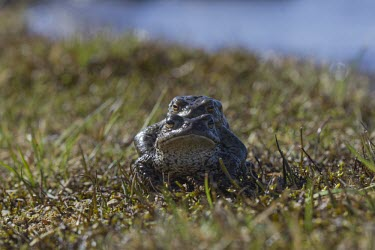Common toad toad,toads,wart,warty,amphibian,amphibians,pond,damp,green,grey,slimy,looking at camera,stare,gaze,Common-Toad,pair,adult,male,female,amplexus,mate,mating,behaviour,behavior,reproduction,Chordates,Cho