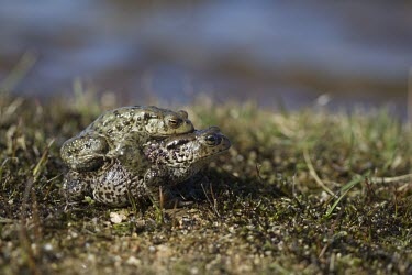 Common toad toad,toads,wart,warty,amphibian,amphibians,pond,damp,green,grey,slimy,looking at camera,stare,gaze,Common-Toad,pair,adult,male,female,amplexus,mate,mating,behaviour,behavior,reproduction,side,shallow